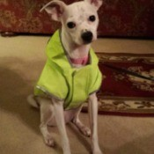 cream colored dog wearing a green jacket