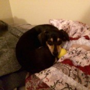 dog curled up on bed