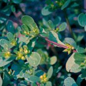 Growing Purslane (Portulaca) oleracea