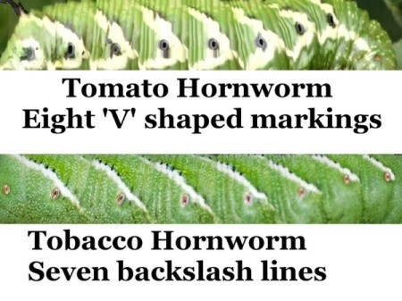 Controlling Tomato Hornworms Thriftyfun