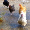 Chickens running in a yard.