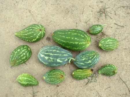 watermelons with blossom end rot