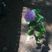 purple bloom with droopy leaves