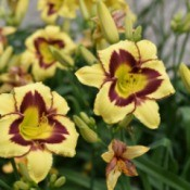 pale yellow and purple daylilies