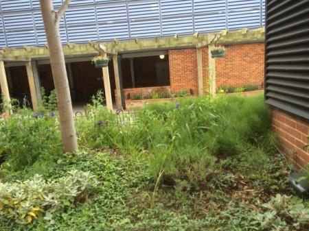 garden: Calla Lilies