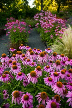 A field of purple coneflower or Echinacea