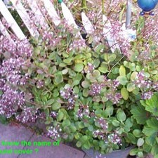 Succulent GroundCover