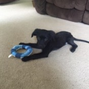black puppy with toy