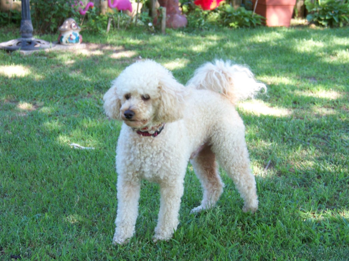 Bichon Frise - Poodle Mix Information and Photos | ThriftyFun