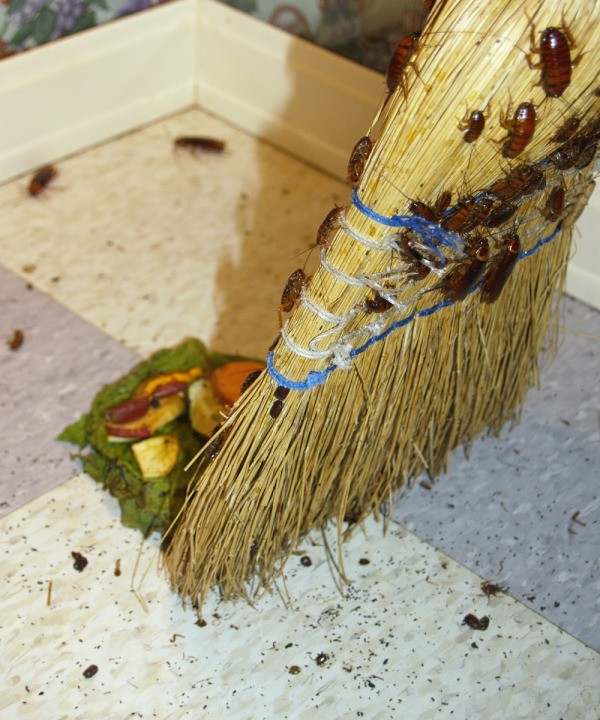 roaches on broom Getting Rid of Bugs in the Kitchen  ThriftyFun