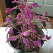 plant with pinkish purple foliage