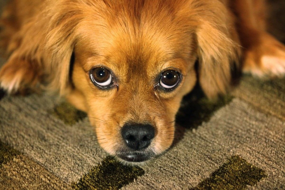 Once the feces is picked up, this smell can linger. This guide is about removing pet poop odor from carpets.