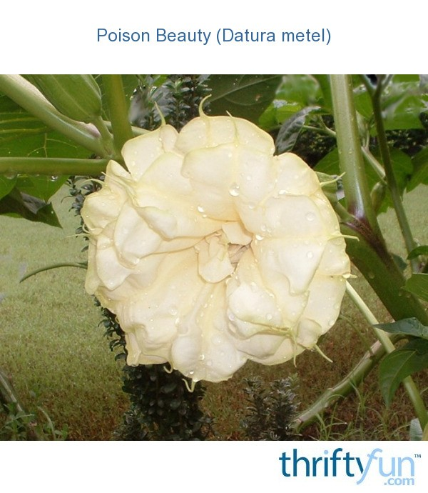 how to make datura poison