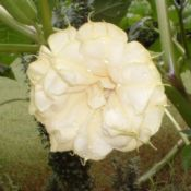 Datura metel bloom