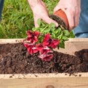 man planting petunias in a planter box