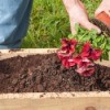 man planting petunias in a planter box