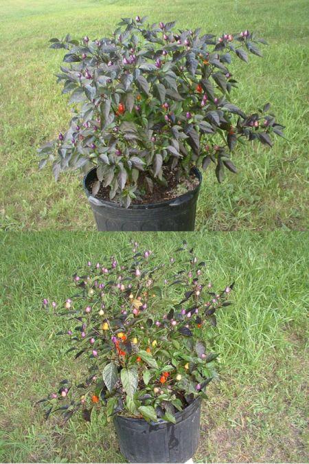 Loco ornamental pepper in bloom.