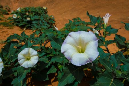 Sacred Datura growing in the red sands of Utah