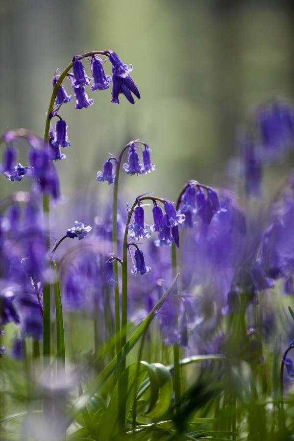 Hyacinthoides non-scripta - English
