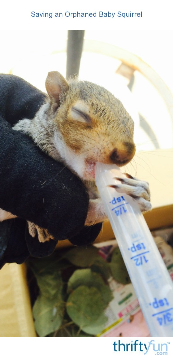 Saving An Orphaned Baby Squirrel Thriftyfun