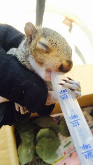 closeup of feeding a baby squirrel