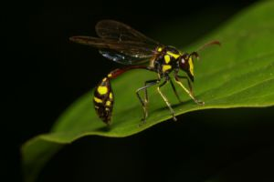 wasp on bright green foliage