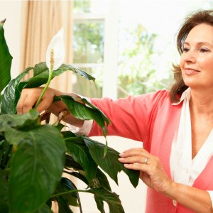 woman caring for a peace plant