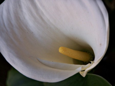 white lily flower with yellow stamen