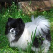 Lucy a black and white Pom