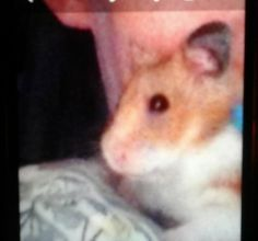 light brown and white hamster