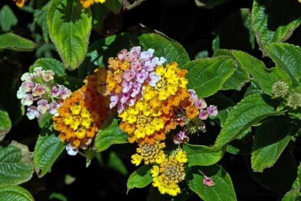 closeup of lantana flowers