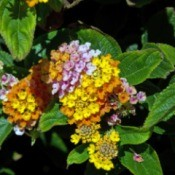 closeup of lantana flowers