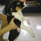 tricolore puppy