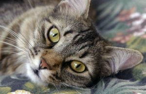 closeup of tabby cat lying down