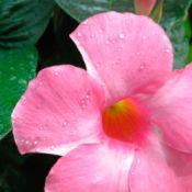 pink mandevilla bloom