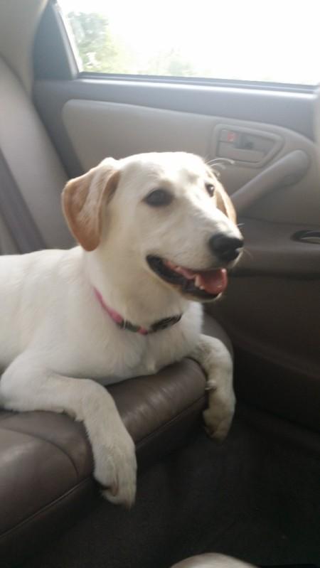 white dog in car
