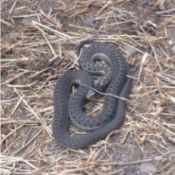 dark snake