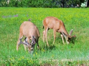 Two bucks eating grass