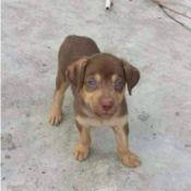 brown and tan dog