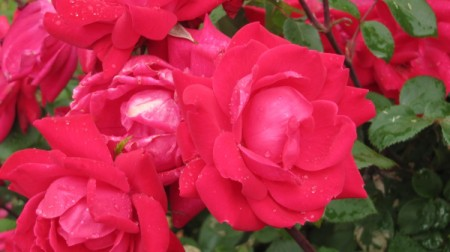 dark pink knockout roses