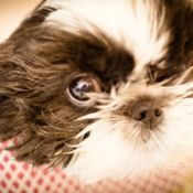 Closeup of a back and white Shih Tzu