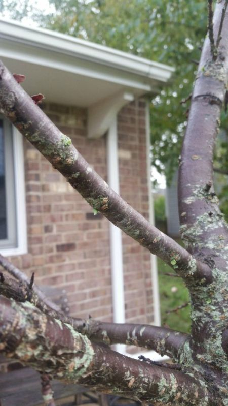 Growing a Wheeping Cherry Tree
