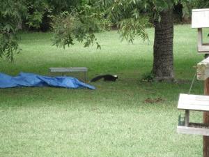 skunk leaving trap