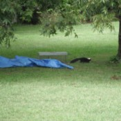 skunk leaving trap