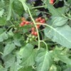 plant with small red berries