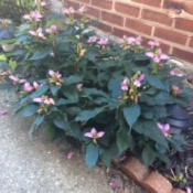 short plant with dark green leaves and pink flowers