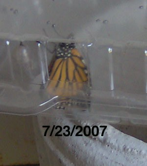 Butterfly Hatching