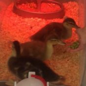 three ducklings under heat lamp