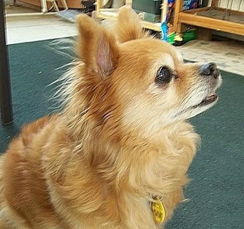 Chihuahuapomeranian Mix Breed Photos Thriftyfun