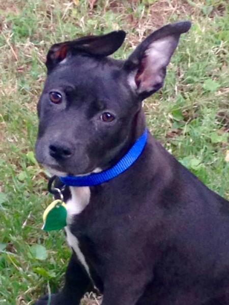 black dog with one floppy ear
